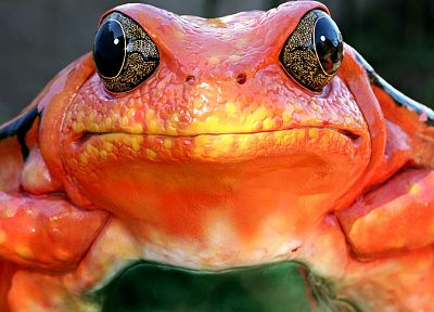 close-up, frogs, amphibians - random desktop wallpaper