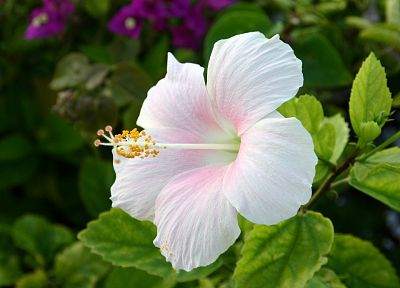 nature, flowers, hibiscus, white flowers - desktop wallpaper