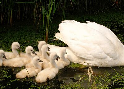 white, birds, animals, swans, baby birds - random desktop wallpaper