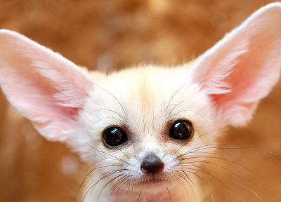 animals, fennec fox - related desktop wallpaper
