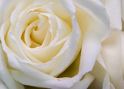 flowers, roses, white flowers, white rose - desktop wallpaper