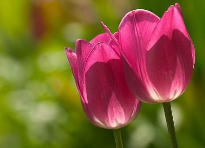 tulips, pink flowers - desktop wallpaper