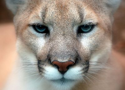 close-up, animals, puma - random desktop wallpaper