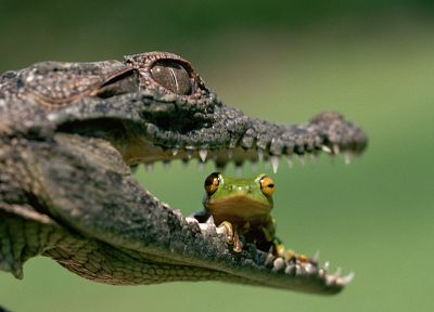 animals, frogs, crocodiles, jaws, reptiles, eating, amphibians - related desktop wallpaper