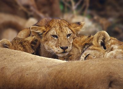 animals, lions, baby animals - related desktop wallpaper