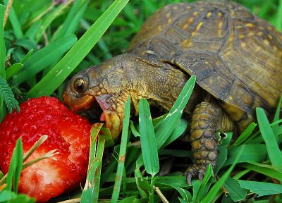 grass, turtles, macro, strawberries, reptiles - random desktop wallpaper