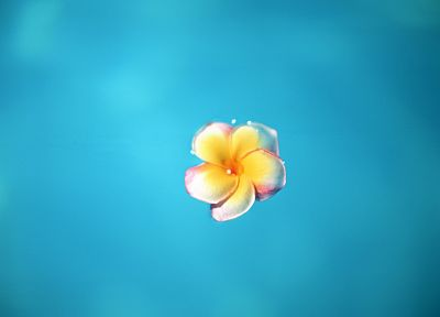 water, flowers, plumeria - desktop wallpaper