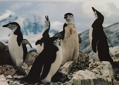 nature, penguins, Chinstrap Penguins - related desktop wallpaper