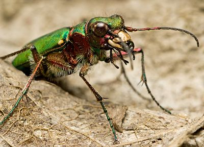 insects, beetles, iridescence - related desktop wallpaper