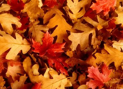 leaves, Utah, oak, fallen leaves - desktop wallpaper