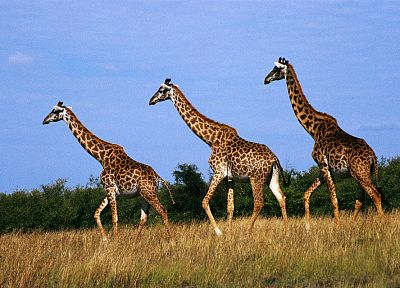 animals, giraffes - random desktop wallpaper