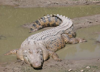 animals, crocodiles, reptiles - related desktop wallpaper