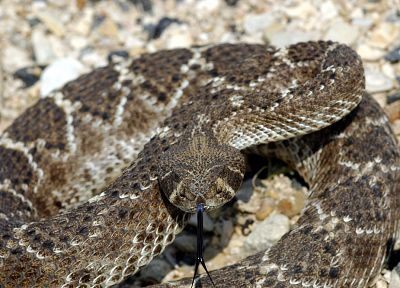 animals, snakes, reptiles, rattlesnakes - related desktop wallpaper