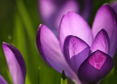 nature, flowers, crocus, purple flowers - related desktop wallpaper