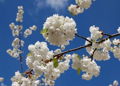 cherry blossoms, flowers, blossoms, white flowers - desktop wallpaper