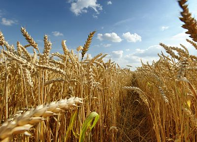 nature, fields, wheat, grain - related desktop wallpaper