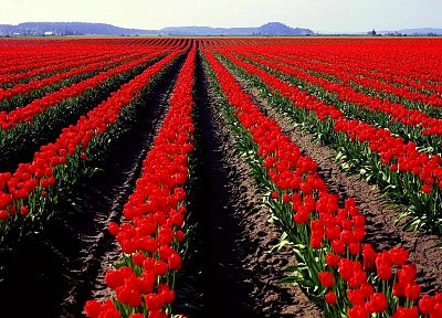 nature, flowers, fields, spring, tulips, red flowers - desktop wallpaper