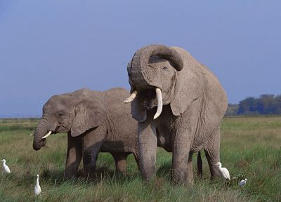 animals, elephants - related desktop wallpaper