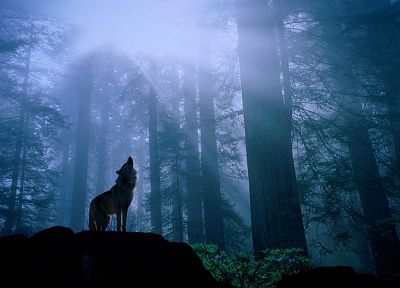 animals, howling wolf, wolves - random desktop wallpaper