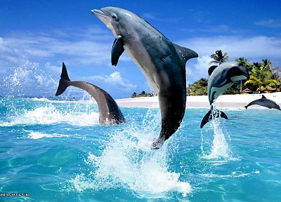 dolphins, sea - related desktop wallpaper
