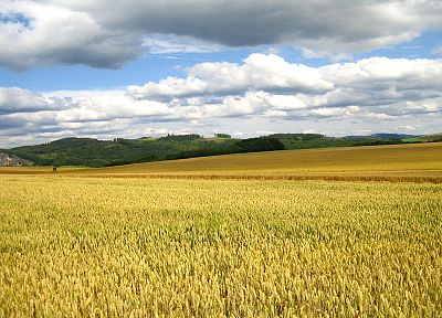 landscapes, nature, wheat, cornfield - desktop wallpaper