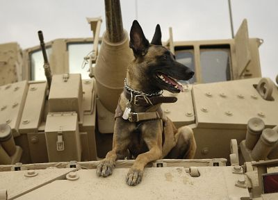 war, military, dogs, tanks, Malinois, Belgian Shepherd - desktop wallpaper