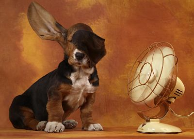 dogs, basset hound - desktop wallpaper