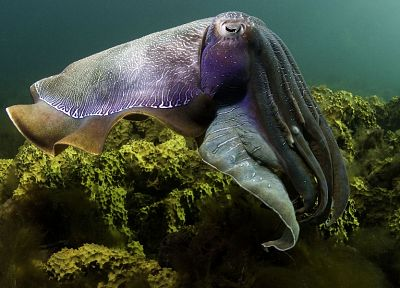 animals, cuttlefish, underwater, sealife - random desktop wallpaper