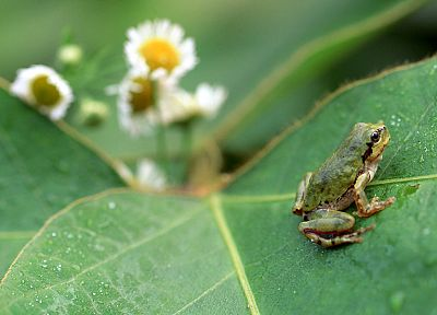 nature, leaf, flowers, leaves, plants, frogs, amphibians - desktop wallpaper