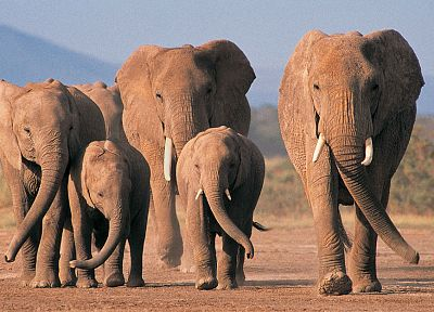 animals, wildlife, elephants - random desktop wallpaper