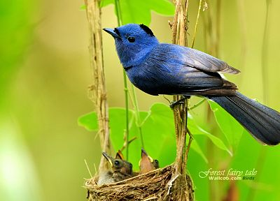 birds, animals, Blue Flycatchers - desktop wallpaper