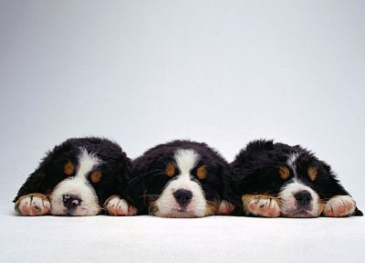 animals, dogs, puppies, canine - related desktop wallpaper