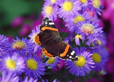 nature, multicolor, flowers, animals, insects, summer, purple flowers, butterflies - desktop wallpaper