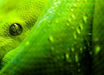 close-up, snakes, python, reptiles - desktop wallpaper