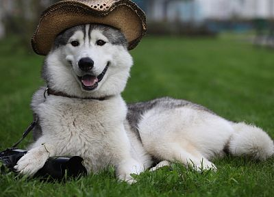 animals, dogs, funny, husky - desktop wallpaper