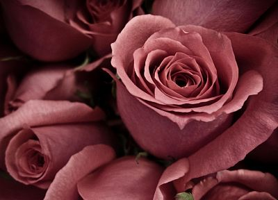 flowers, roses - random desktop wallpaper