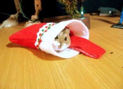 animals, socks, hamsters, Christmas, black eyes - random desktop wallpaper