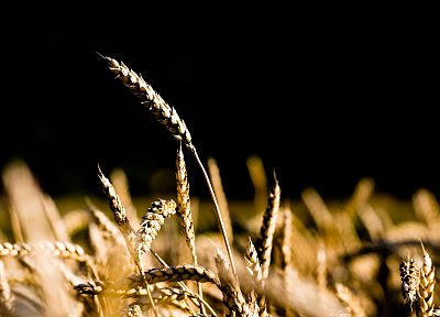 nature, spikelets - random desktop wallpaper