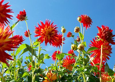 red, flowers, dahlias, bushes - related desktop wallpaper