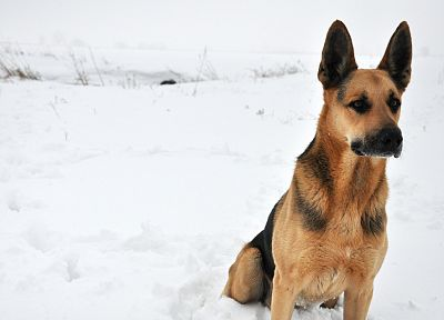 animals, dogs, German Shepherd - random desktop wallpaper