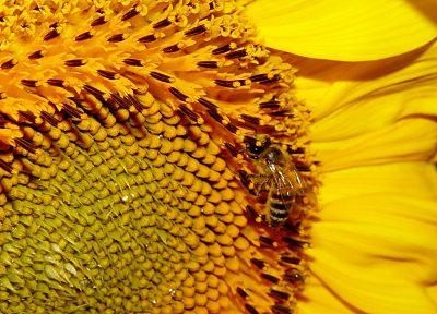 flowers, yellow, insects, bees - random desktop wallpaper