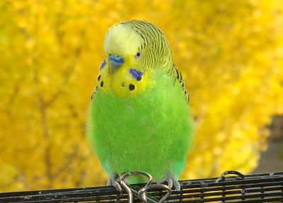 birds, parakeets, budgerigar - desktop wallpaper