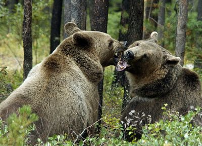 animals, bears - related desktop wallpaper