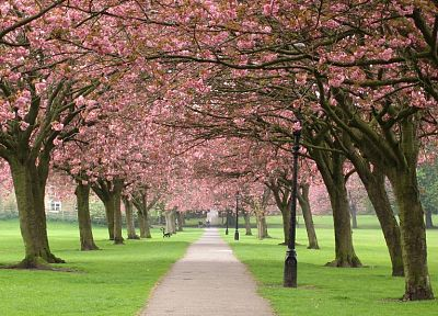 cherry blossoms, flowers, paths - random desktop wallpaper