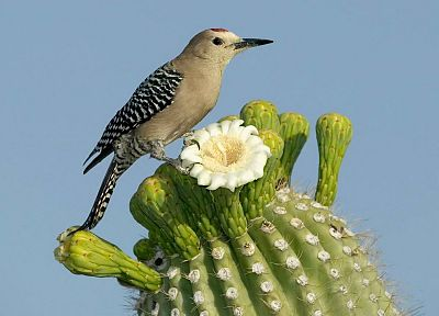 birds, cactus, woodpecker, cactus flowers - random desktop wallpaper