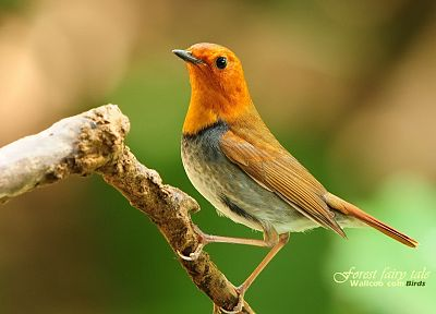birds, animals, wildlife, Japanese, bali, robins - random desktop wallpaper