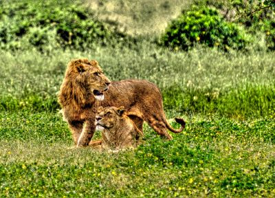nature, animals, lions - related desktop wallpaper