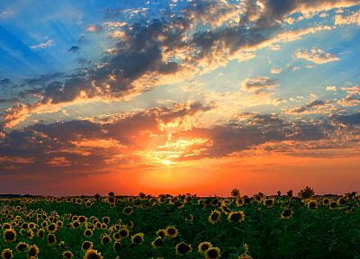 sunset, clouds, landscapes, Sun, fields, sunflowers - related desktop wallpaper