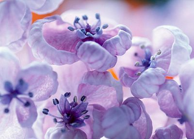 flowers, spring, blossoms, purple flowers - related desktop wallpaper