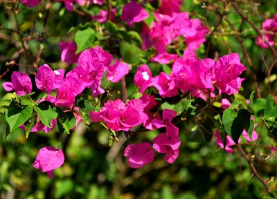 flowers, pink flowers, bougainvillea - desktop wallpaper